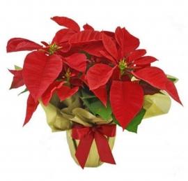Flor do Natal - CN7